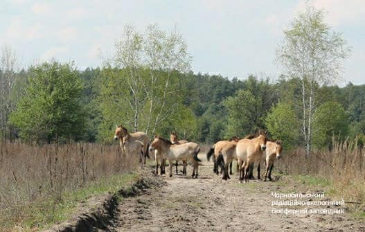 Природа оживает: у лошадей Пржевальского в Чернобыльской зоне появился первый жеребенок